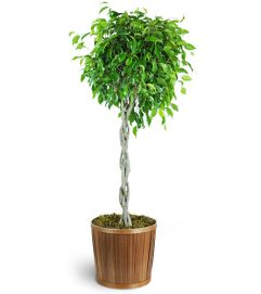 Braided Ficus Tree