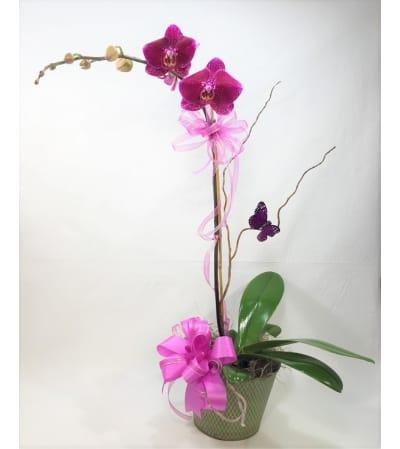 Ellington's Orchid Plant