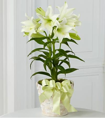 Double Stemmed Easter lily