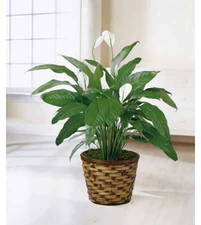 The Spathiphyllum Plant by FTD®