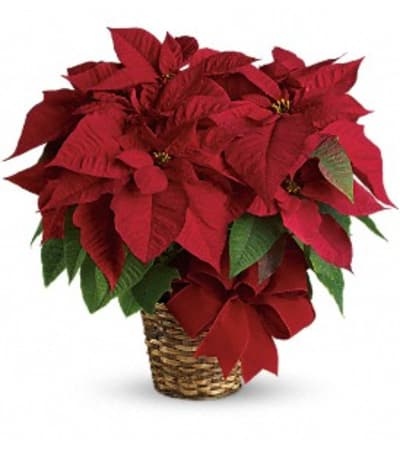 Ellington's Red Poinsettia