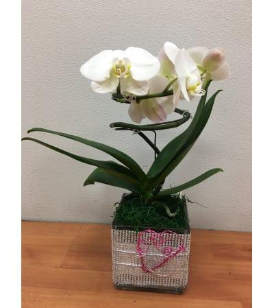White Spiral Phalaneopsis Plant