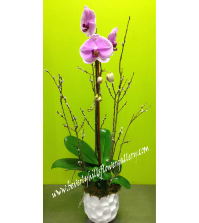 Pink Phalanopsis Orchid