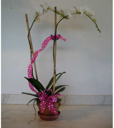 Double Spike White Phail Orchid111