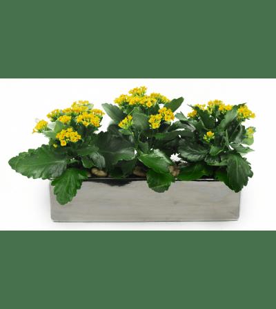 Triple Yellow Kalanchoe