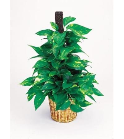 Pothos Pole Plant