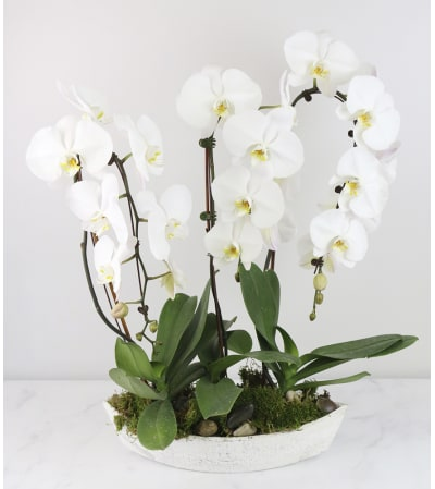 Just Beautiful Orchid Plant