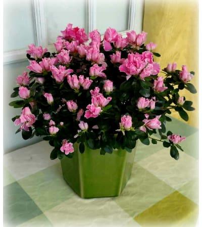 Azalea Beauty Planter
