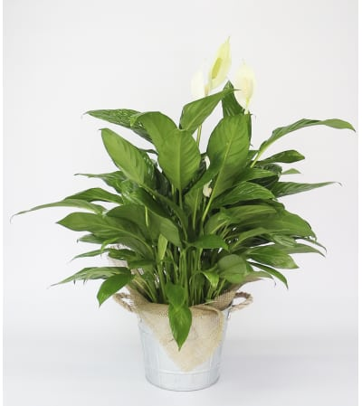 Rustic Peace Lily Plant