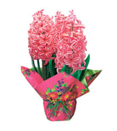 Potted Hyacinth Plant