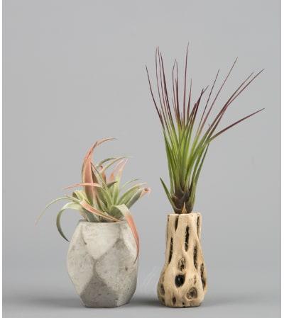 Charming Air Plants