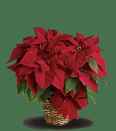 Red Poinsettia TF