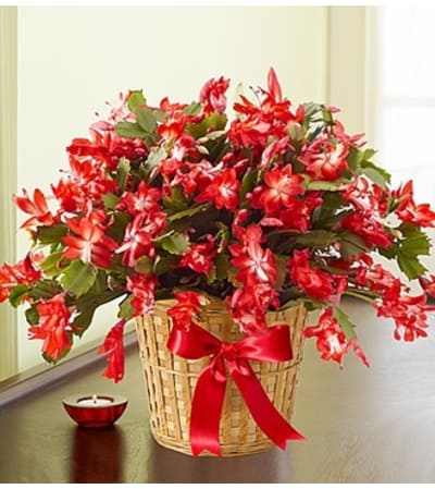 "6"" Christmas Cactus in Basket"