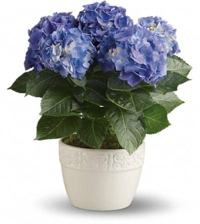 Happy Hydrangea - Blue