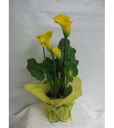 Pretty Calla Lily Plant
