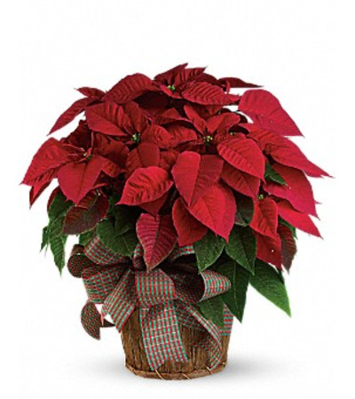 POINSETTIA IN A BASKET WITH A BOW