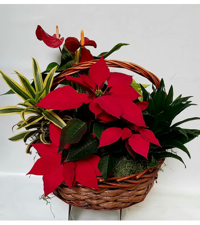 Beautiful Red Poinsettia Basket