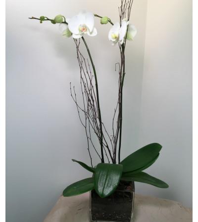 White Phalaenopsis  Deluxe