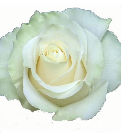 Dozen White Roses Long Stemmed