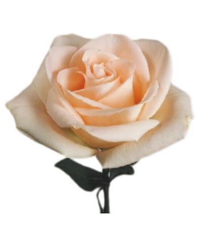 1 Dozen Long Stemmed Peach Roses