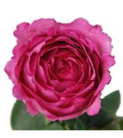 1 Dozen Gorgeous Hot pink David Austin garden roses