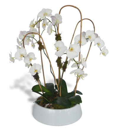 Five Phalaenopsis Orchids