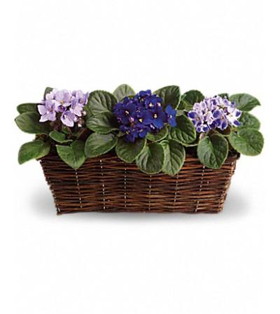 beautiful Violets