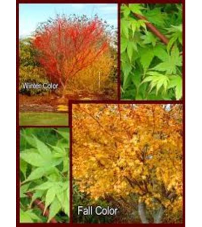 Coral Bark Maple Tree