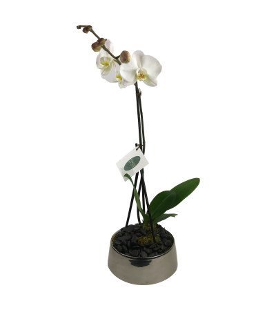 Single White Orchid
