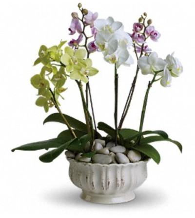 Regal Orchids