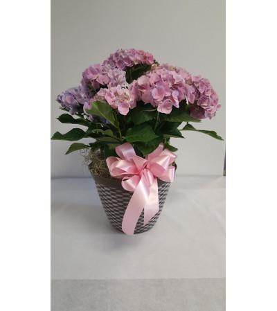 Blooming Hydrangea Plant