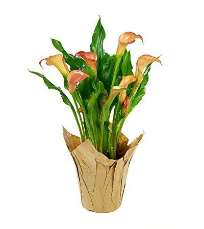 Calla Lily Planter