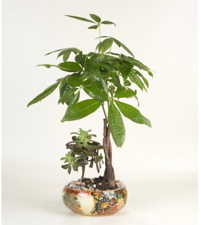 Money Tree with Succelent