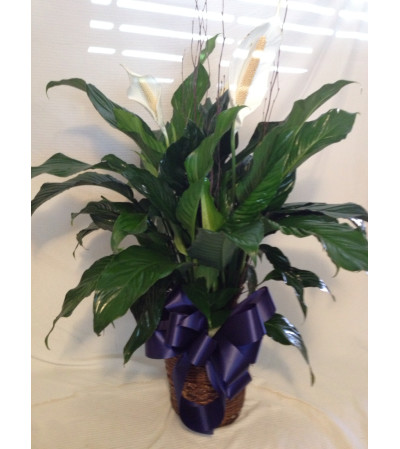 The Medium Peace Lilly Plant