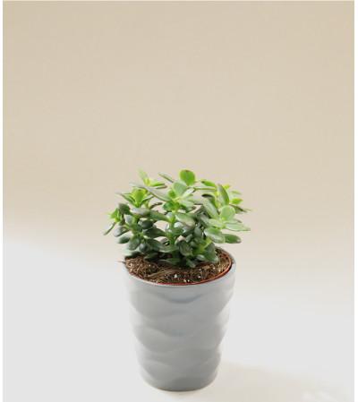 Decorative Succulent Plant