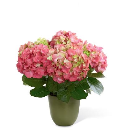The FTD® Pink Hydrangea Planter