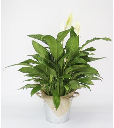 Decorative Peace Lily Plant by DiBiaso's