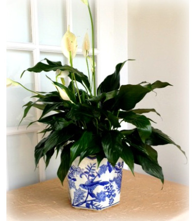 Simply Elegance Peace Lily