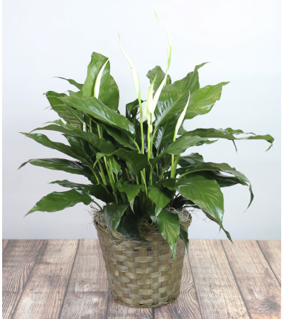 Decorative Spathiphyllum Plant by Kirk's
