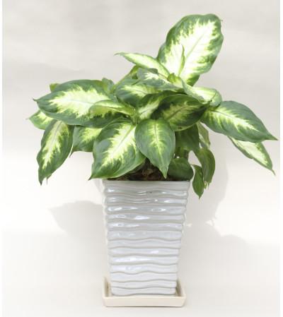 Dieffenbachia Planter