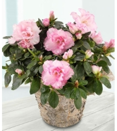 Baby Pink Azalea Plant