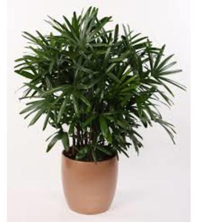 Rhapis Palm Bamboo