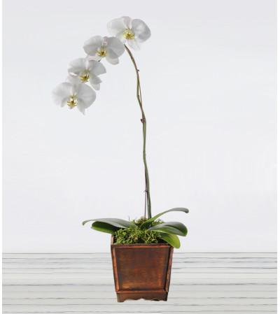 Awesome Phalaenopsis