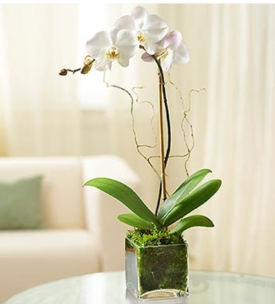 White Phalaenopsis Orchid for Sympathy