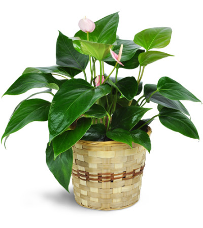 Pink Anthurium Plant in a Basket