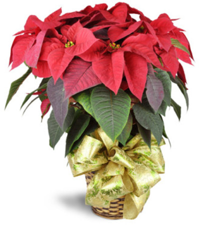 Holiday Classic Poinsettia by Lovingly