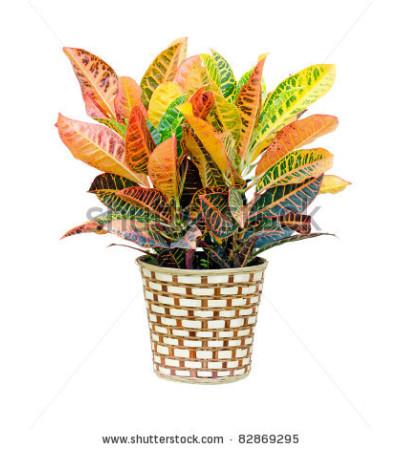Croton Plant- LG