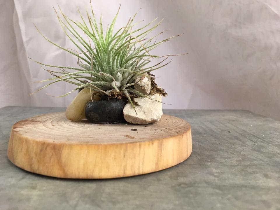 Tillandsia and Wood