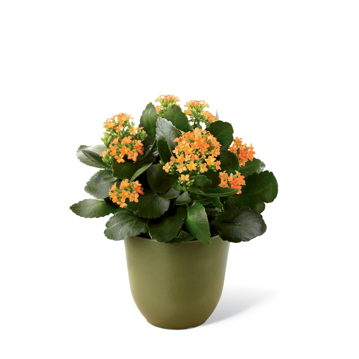 The FTD® Kalanchoe