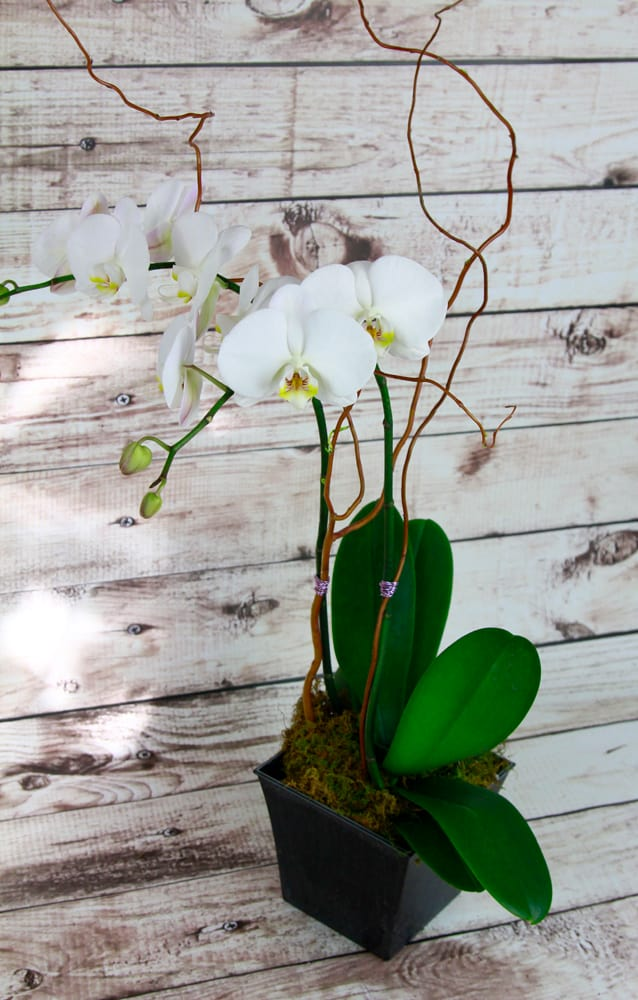 Classy Orchid
